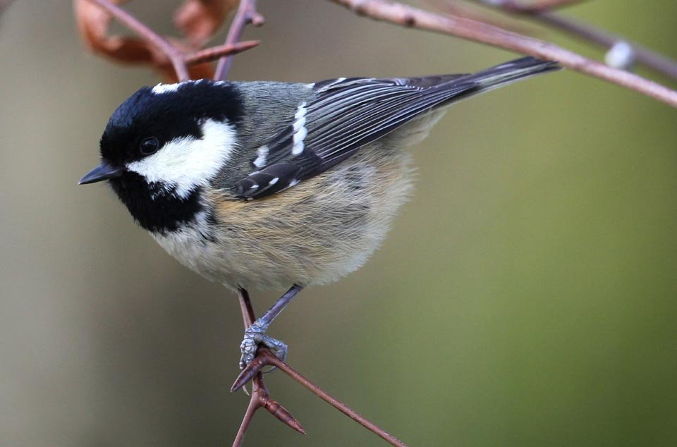 Coal Tit, Wicklow