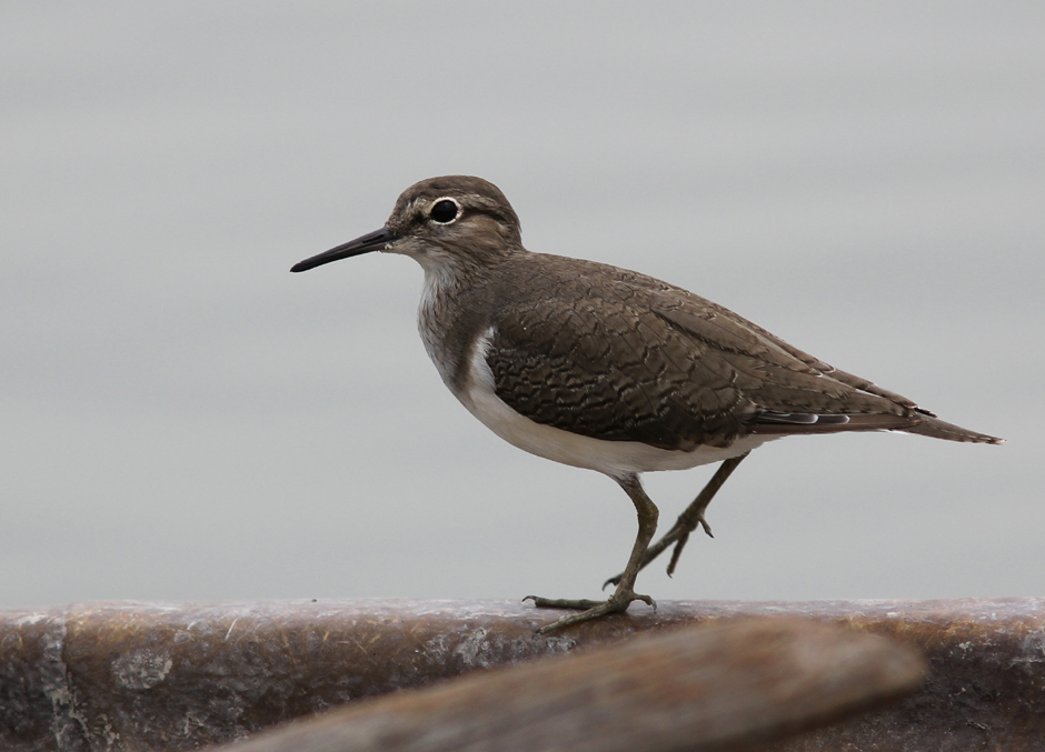 Common Sandpiper Mai Po