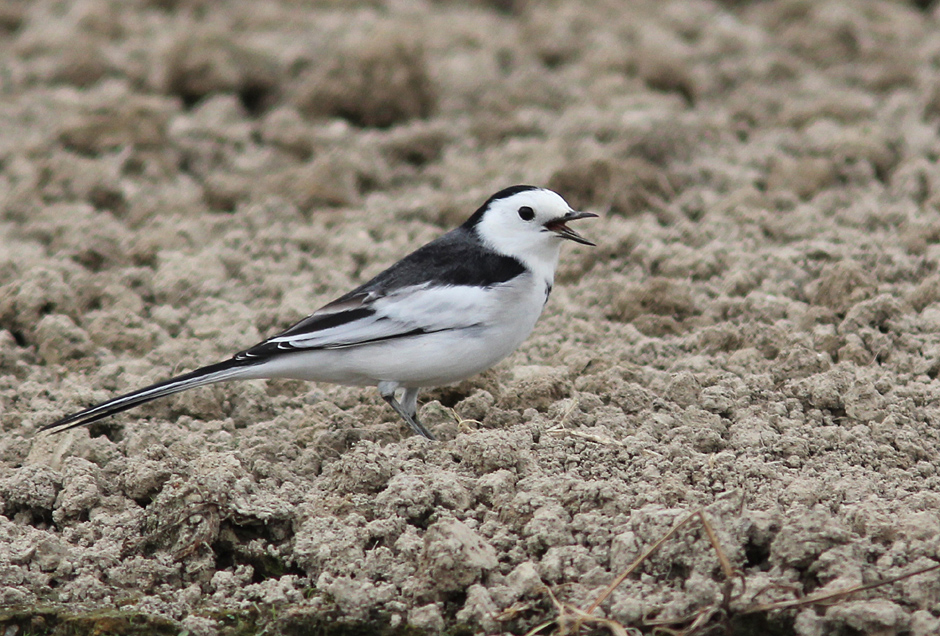 'Eastern' White Wagtail Long Valley