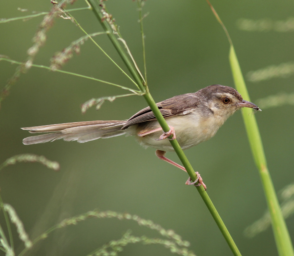Plain Prinia with fly Mai Po