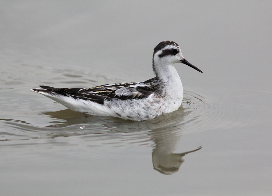 Red-necked Phalarope Long Valley