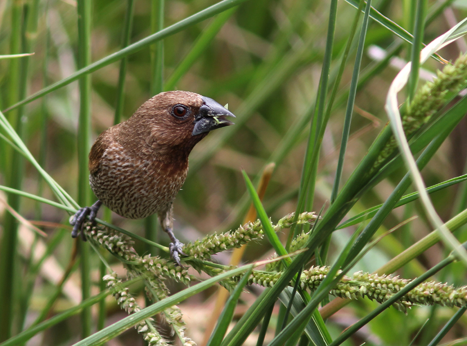 Scaly-breasted Munia Mai Po