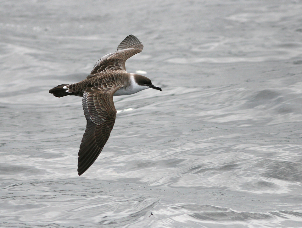 Great Shearwater -Kerry Aug'08