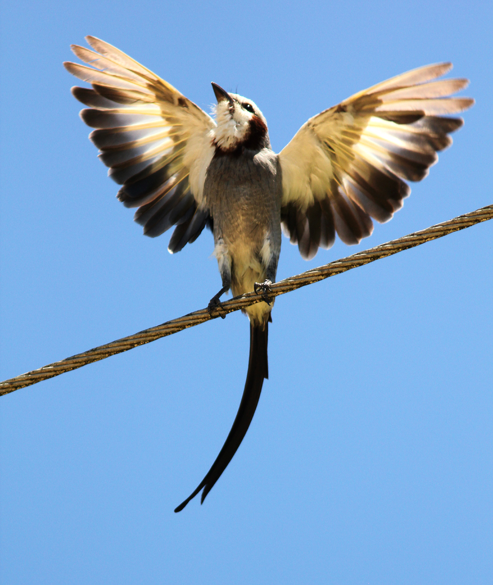 Streamer-tailed Tyrant displaying