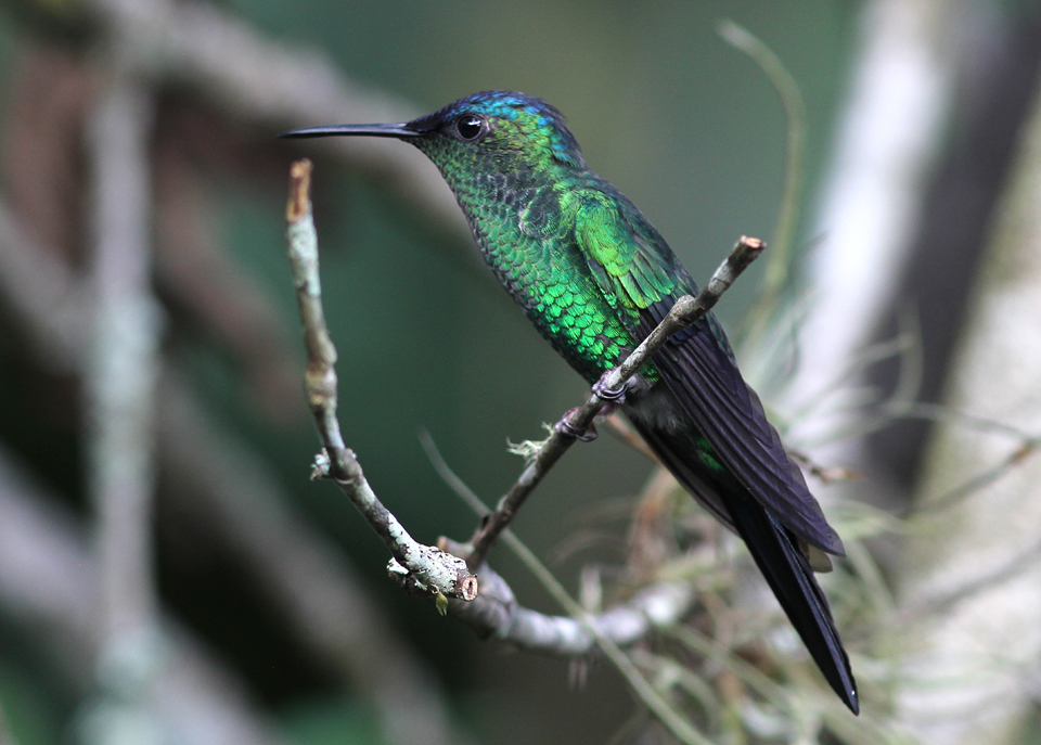 Violet-capped Emerald