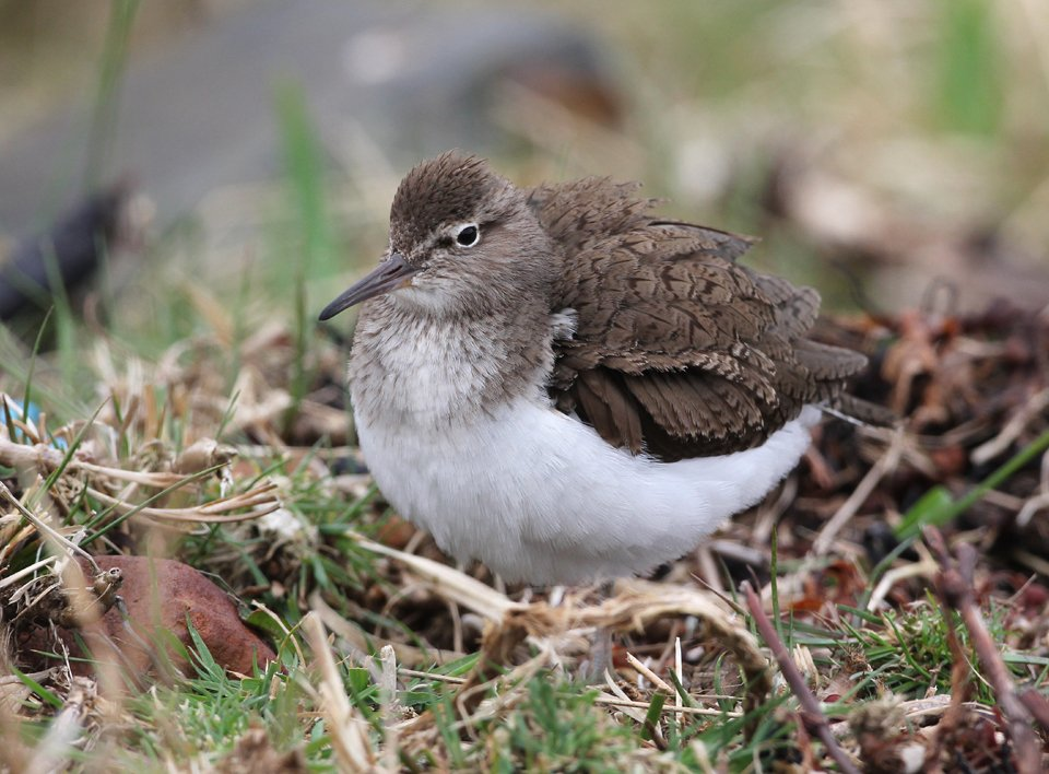 Common Sandpiper - Isle of Mull