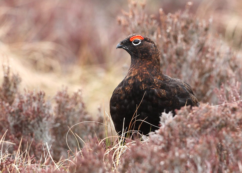 Red Grouse-Cairngorms