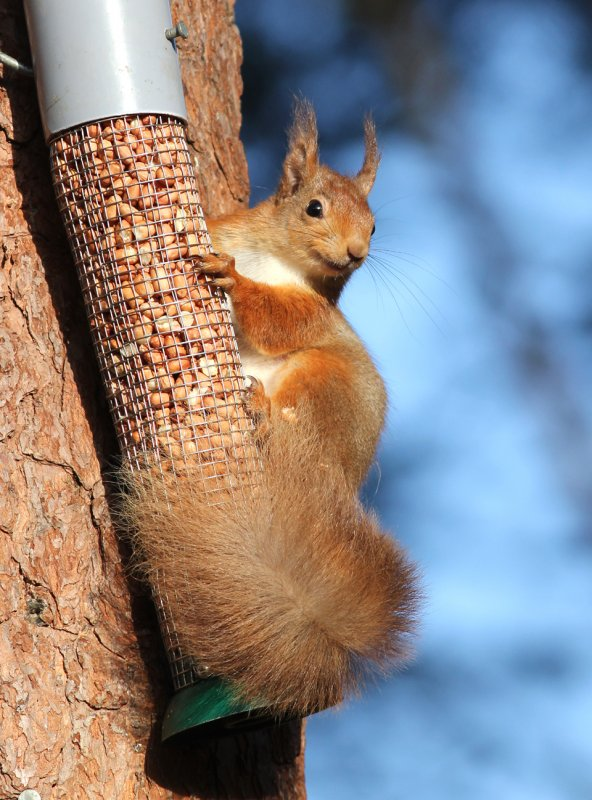 'Happy' Red Squirrel -Loch Garten