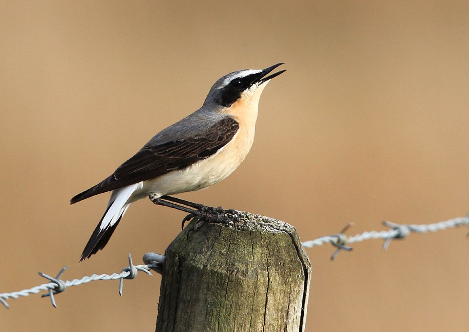 Wheatear in song - Isle of Mull - April 2015