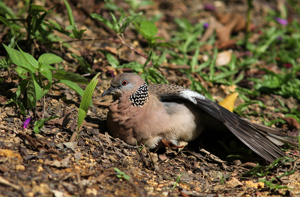 Spotted Dove sunbathing