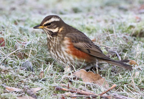 Winter Thrushes Everywhere!