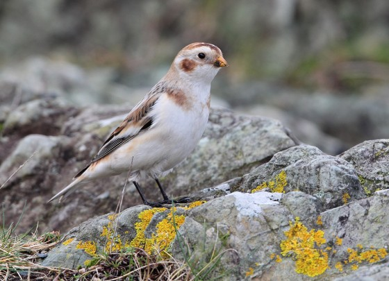 The Magic of Snow Buntings