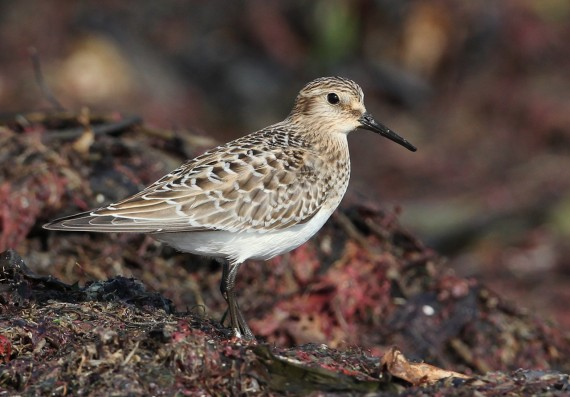 On a Baird's Sandpiper and keeping a notebook…