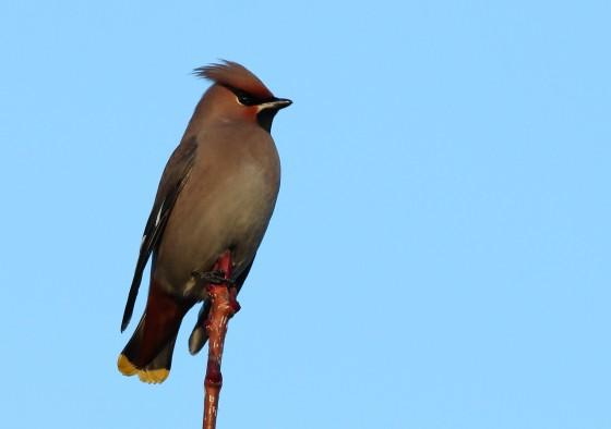 A Waxwing Tale…