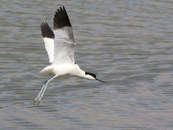 On Avocets and legacies…