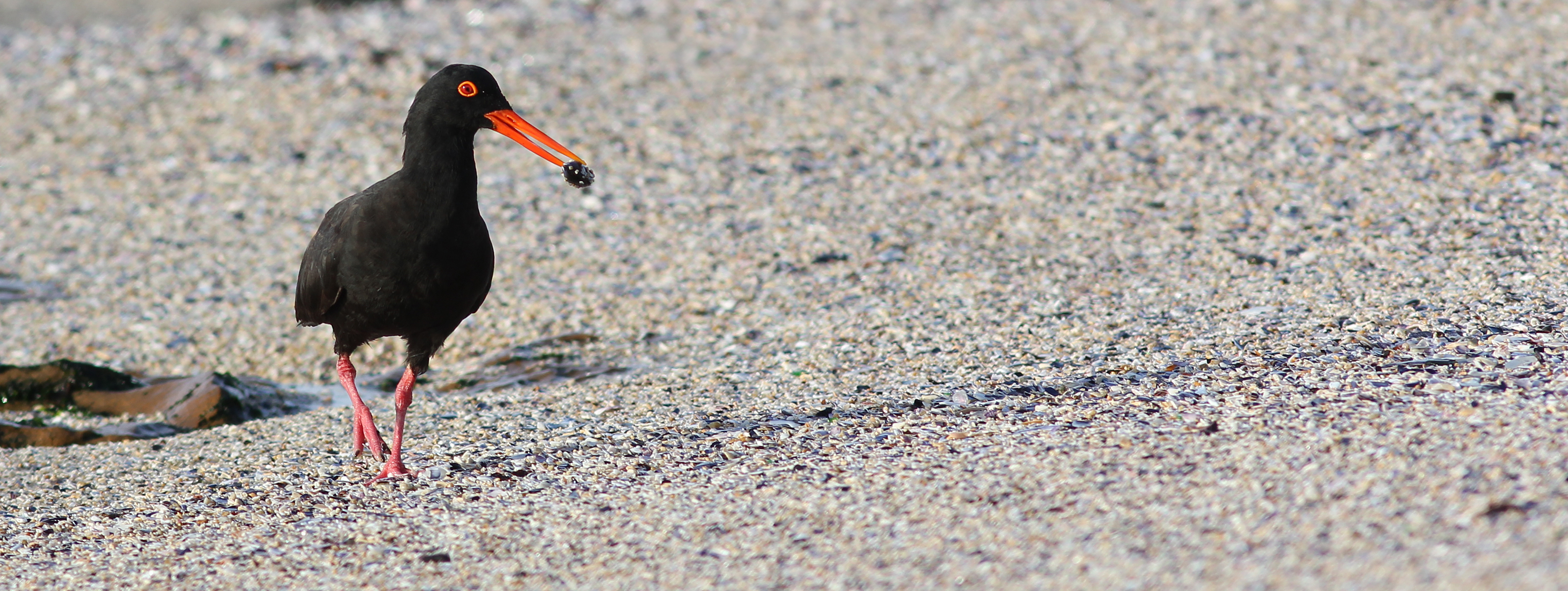 Black-Oystercatcher-26822