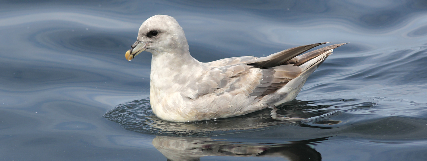 Slider-BlueFulmar-7404-Kerry-090811