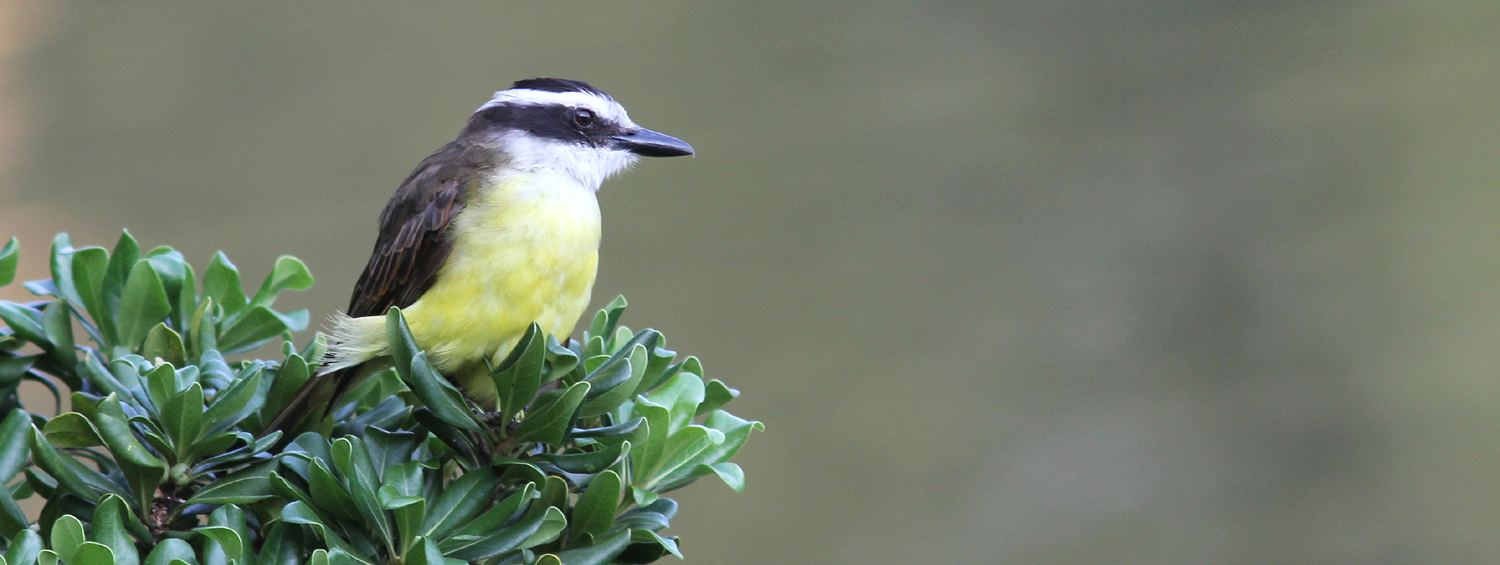 Slider-Great-Kiskadee-1179-SP-200213