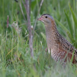 Corncrake low res web-6738-040609