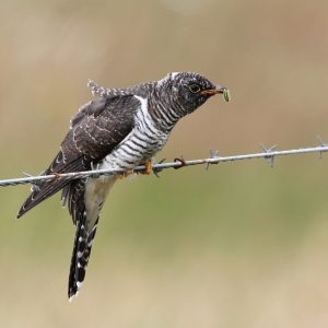 Low Res-Cuckoo-IMG_4937-Newcastle-260716