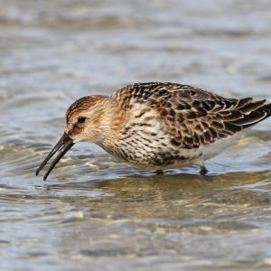 Low Res-Dunlin-5967-Tac