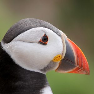 Low Res-Puffin Portrait -4301-050716 (1)