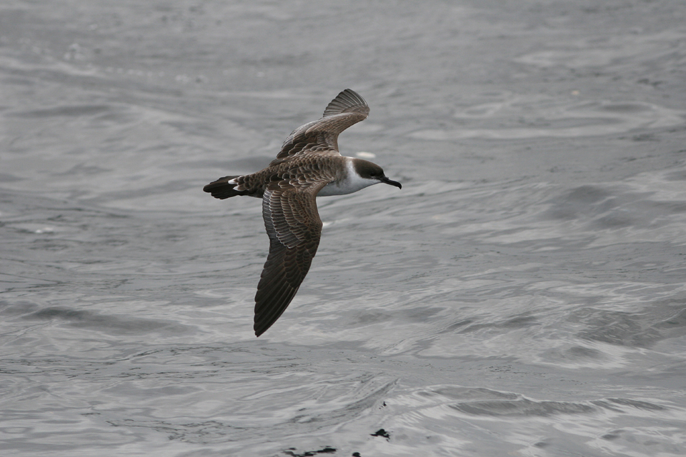 Great Shearwater - off  Inisbofin, Galway Aug'08