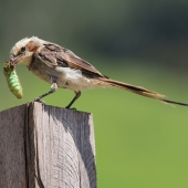 Streamer-tailed Tyrant and dinner!