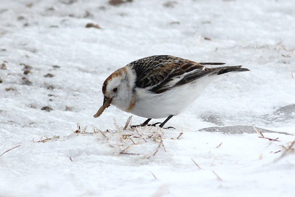 Snow Bunting in the snow - Cairngorms