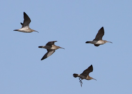 Wheatears, Warblers & Whimbrels
