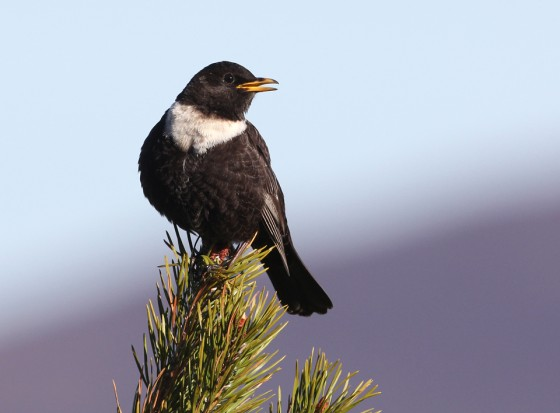Our Lost Ring Ouzels