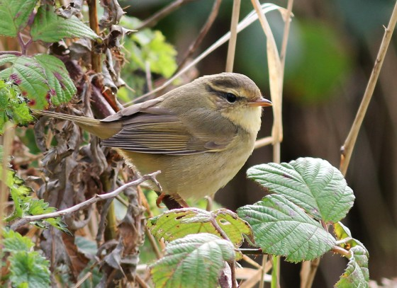 Radde's Warbler…seeing is believing